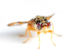 Poor guy. (Mediterranean Fruit Fly.)